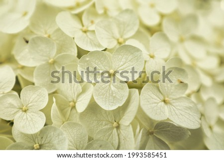 Hydrangea white that blooms beautifully during the rainy season in early summer June
