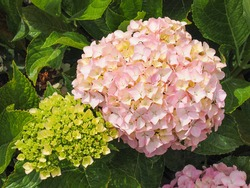Hydrangea, whitish pink raceme and fresh green bud, close up. Hydrangea macrophylla or bigleaf Hortensia shrub, with large, showy flowers. Penny Mac H. is flowering plant in the Hydrangeaceae family.