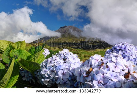 Hydrangeas in front of volcano Pico - Pico island, Azores Islands
