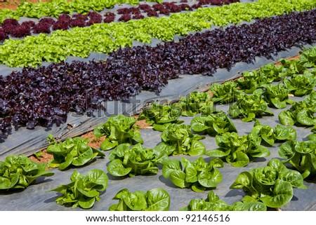 hydroponic vegetable in farm