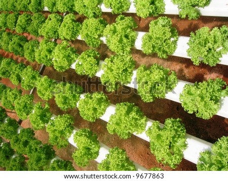 Hydroponically grown lettuces - stock photo