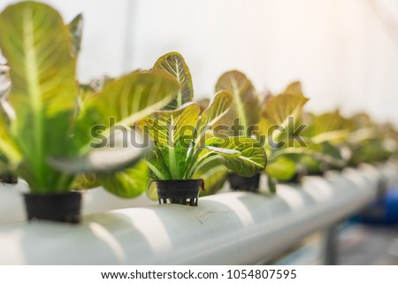 Hydroponics,Organic fresh harvested vegetables,Farmers looking fresh vegetables. Farmers working with organic hydroponic vegetable garden at greenhouse.