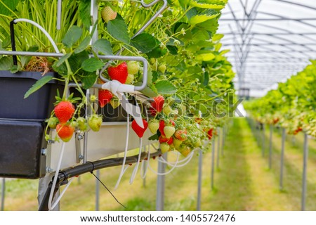 Hydroponics Strawberry in greenhouse with high technology farming. Agricultural Greenhous with hydroponic shelving system #1405572476