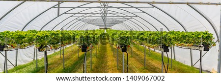 Hydroponics Strawberry in greenhouse with high technology farming. Agricultural Greenhous with hydroponic shelving system, banner #1409067002
