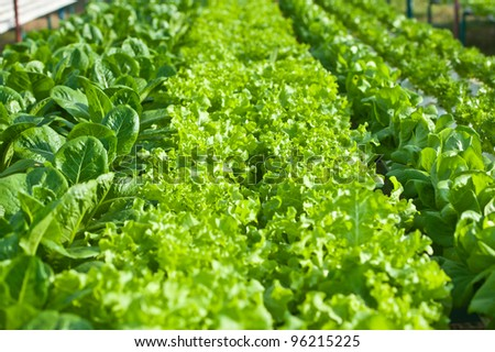 hydroponics vegetable(red corel)