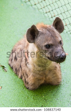 Hyena - stock photo