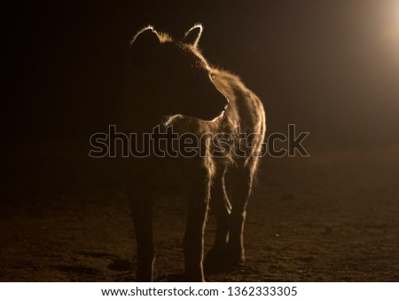 Hyena after feeding, Harari region, Harar, Ethiopia