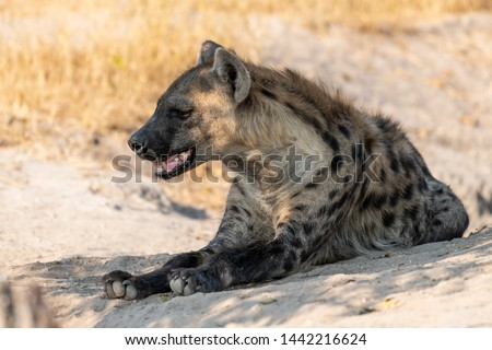 Hyena at its whole in Botswana in the Moremi game reserve in afrika