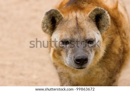 Hyena closeup
