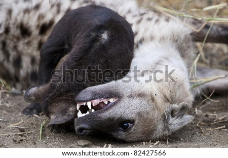 Hyena Cub and Mother in Kruger National Park, South Africa
