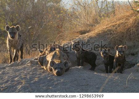 Hyena den with three cubs in Timbavati, South Africa at sunrise