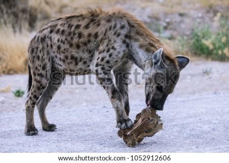 Hyena eating a peace of Giraffe, Etosha, National Park, Namibia