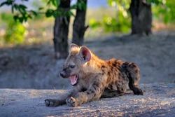 Hyena evening sunset light. Hyena, detail portrait. Spotted hyena, Crocuta crocuta, angry animal near the water hole, beautiful evening sunset and cub. Animal pup nature, Okavango delta, Botswana