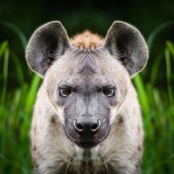 Hyena face close up