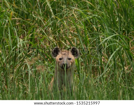 Hyena hiding in the tall green grass of the swamps in Akagera National Park in Rwanda.  Pic taken at Magashi camp Wilderness safaris.