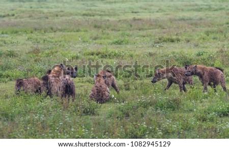 Hyena in Ngorongoro Crater Tanzania in April 2018