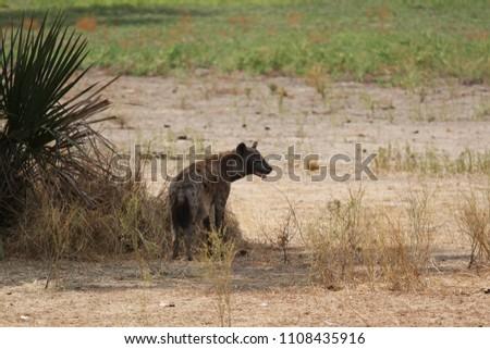 Hyena in Selous Game Reserve, Tanzania #1108435916