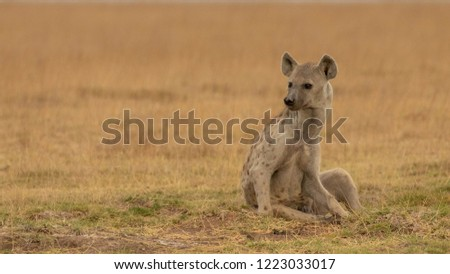 hyena in the wilderness of Africa