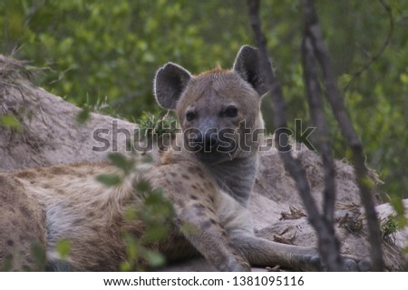 HYENA ISOLATED CLOSEUP PICTURE ,BROWN