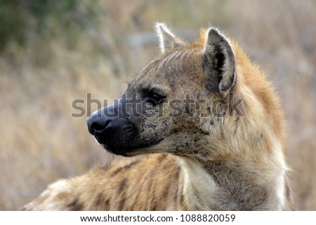 Hyena looking back nervously - Kruger Park