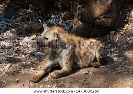 Hyena lying down, resting in the sand of the mountain, next to rocks and in a natural background. Plants around the animal, hot habitat. Hyena looking for food. Wild, carnivorous.