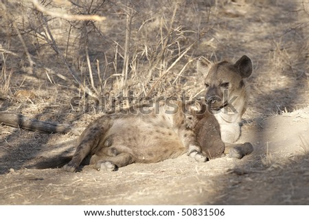 Hyena mother and her young pups