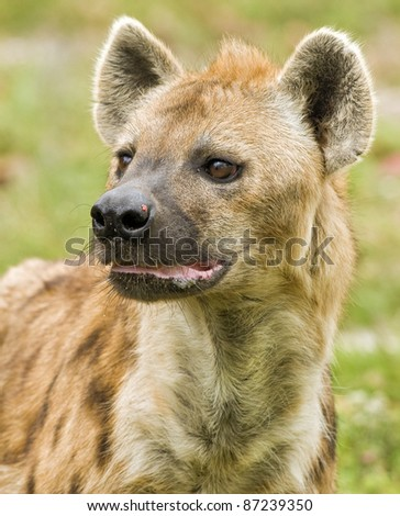 Hyena on the Prowl