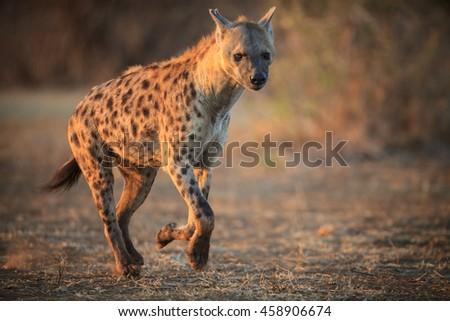 Hyena running