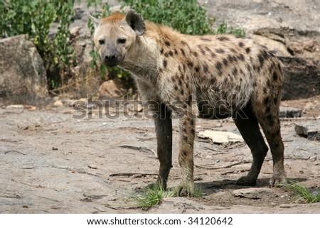 Hyena - Serengeti Wildlife Conservation Area, Safari, Tanzania, East Africa #34120642