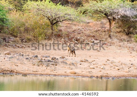 Hyena skulking around the waterhole at dawn - hoping to find an unwary young animal