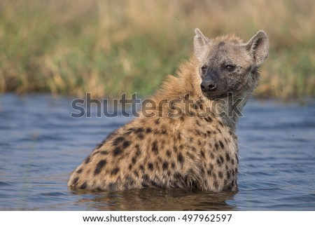 Hyena taking a bath in Moremi National Park, Khwai area.