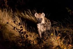 Hyena walking through the bush at night in Botswana in the Moremi game reservein afrika