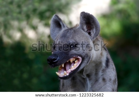 Hyenas dog in nature forest, Wildlife of Hyenas wolf face and head laughing, Hyenas in fierce feel, Hyenas ferocious close up (selective focus)