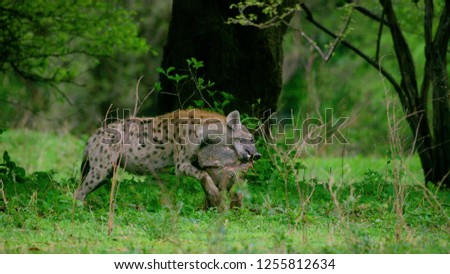 Hyenas dog in nature forest, Wildlife of Hyenas wolf face and head laughing, Hyenas in fierce feel .