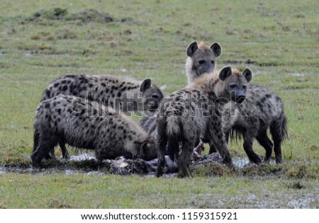 Hyenas eating a zebra carcass