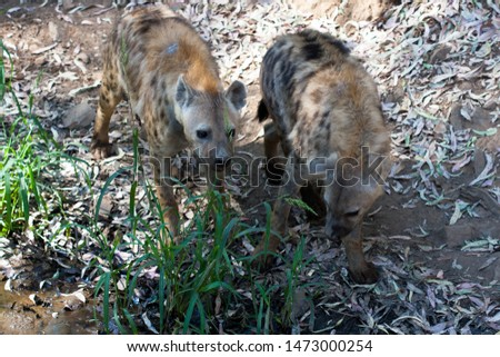 Hyenas in herd standing in the sand of the mountain, next to rocks and in a natural background. Plants around the animal, hot habitat. Hyena looking for food. Wild, carnivorous.