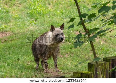Hyenas live in packs. All kinds of hyenas prefer to settle in open landscapes - savannas, steppes and semi-deserts. Hyenas constantly communicate with each other through various sounds.