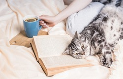 Hygge atmosphere. British cat lying on the book. Weekend at home concept with book and tea. Text in the book is not recognizable.