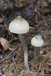Hygrocybe irrigata (syn. Gliophorus irrigatus), known as the slimy waxcap, wild mushroom from Finland