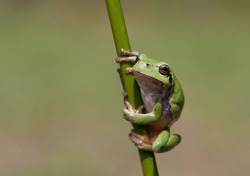 Hyla Arborea (Common green treefrog) in several positions