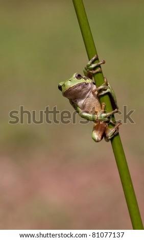 Hyla Arborea (Common green treefrog) in several positions