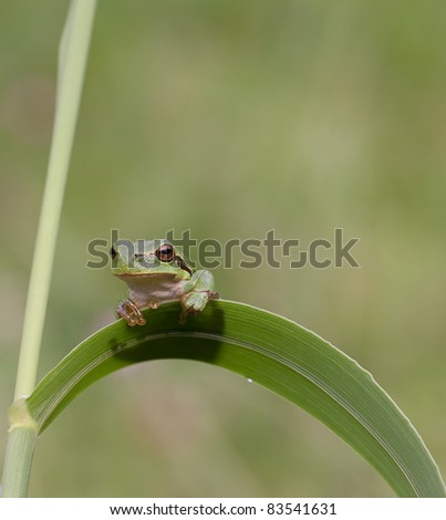 Hyla Arborea (Common green treefrog) resting on grass and looking surprised