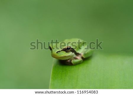 Hyla tree frog on a green leaf and green background. Wide