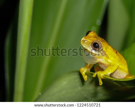 HYLIDAE Dendropsophus. Frogs in the wild. Photo taken in the Brazilian Atlantic rain forest using a macro lens.