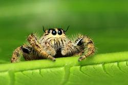 hyllus diardi  Jumping spiders of Thailand