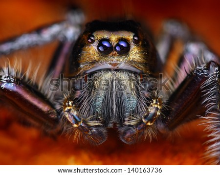 Hyllus diardy Biggest jumping spider in the world, 40mm leg span
