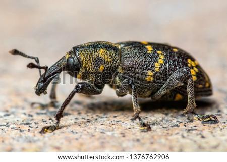 Hylobius Abietis Large Pine Weevil Beetle Pest Parasite Macro #1376762906