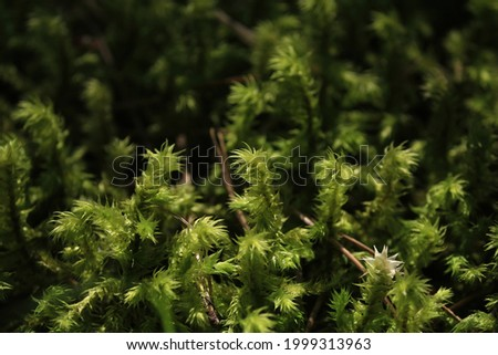 Hylocomiadelphus triquetrus, big shaggy-moss, electrified cat's tail moss, rough goose neck moss. Green transparent moss sparkles in the sunlight. Green moss background.