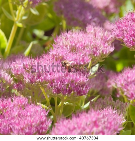 Hylotelephium spectabile (formerly called Sedum spectabile) is a plant in the stonecrop family, Crassulaceae. Its common names include showy stonecrop, ice plant, and butterfly stone crop.