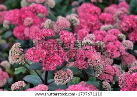 Hylotelephium stonecrop 'red cauli' in flower Foto stock ©